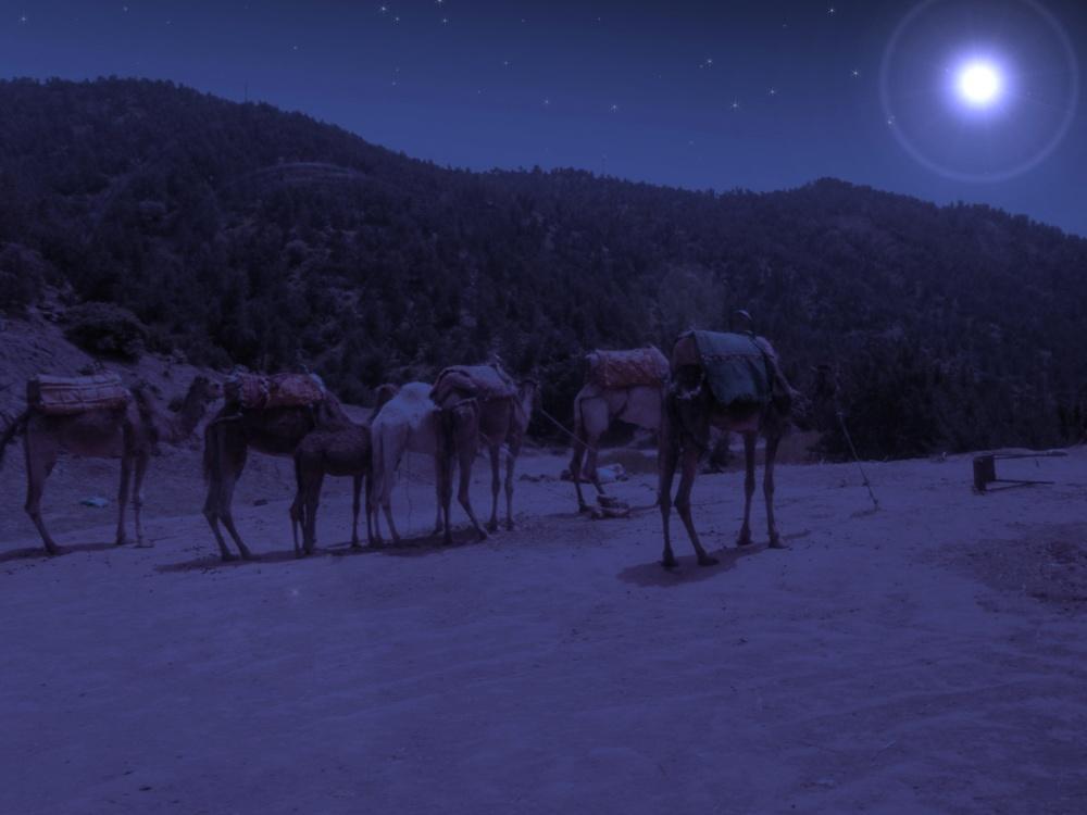 Chameaux dans la nuit
