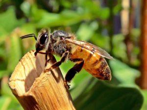 L'abeille a 16 paires de chromosomes… et la sourate 16 du Coran s'appelle 'l'abeille'