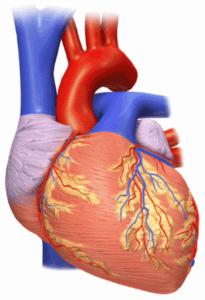 Les deux cœurs dans le ventre