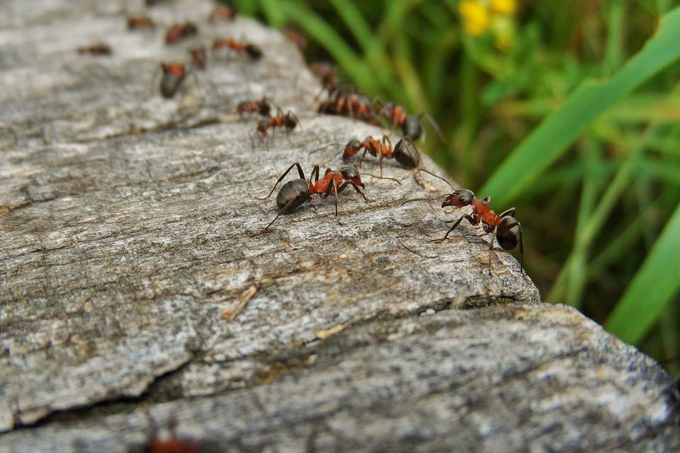 La communication entre les fourmis